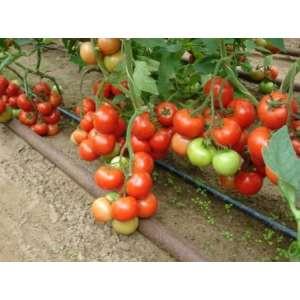 Монсан F1 - томат полудетерминантный, 500 семян, Enza Zaden Голландия фото, цена
