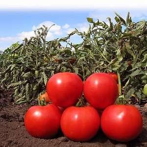 Анита F1 (КС 829 F1) - томат детерминантный, 1000 семян, KITANO фото, цена