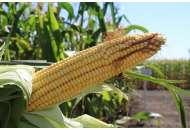 Даниил - кукуруза на зерно 80 000с фото, цена