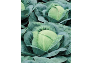 Виват премиум F1 2500 семян - капуста, Nasko фото, цена