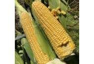 Кукуруза 1801 F1 - Кукуруза сахарная, 2500 семян Lark Seeds (Ларк Сидс), США фото, цена