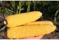 Кукуруза Ноа F1 100000 семян, Никерсон Цваан фото, цена