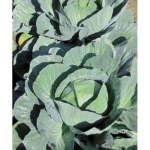 Аммон F1 - капуста белокочанная, 2 500 семян, Seminis (Семинис) Голландия фото, цена