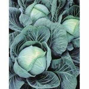 Галакси F1 - капуста белокочанная, 2 500 семян, Seminis (Семинис) Голландия фото, цена