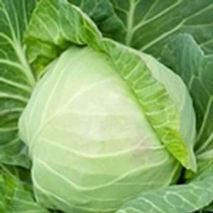 Леннокс F1 - капуста белокочанная, 2 500 семян, Bejo (Бейо), Голландия фото, цена