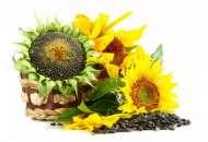 Семена подсолнечника фото, цена