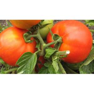 Булат F1 - томат, детерминантный фото, цена