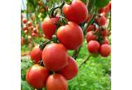 Дарья F1 - томат, детерминантный фото, цена