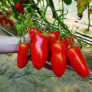 Айдар F1 - томат индетерминантнный, Clause (Tezier) Клаус, Франция  фото, цена