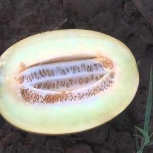 Бабор F1 - дыня, 1000 семян, Clause Франция фото, цена