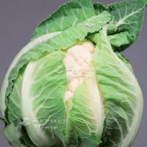 Ардент F1 - капуста цветная, 2 500 семян, Clause (Клоз) Франция фото, цена