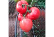 Панамера F1 - индетерминантные семена томата, 1000 семян, Clause (Франция) фото, цена