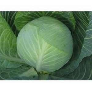 Гард F1 - капуста белокочанная, 10 000 семян, Clause Франция фото, цена