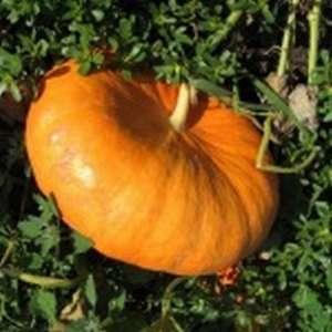 Руж виф де Тамп - тыква, 5 семян, Clause Франция фото, цена