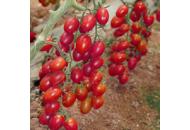 Тути-Фрути F1 / Tutti-frutti F1- томат черри индетерминантный, 250 семян, Clause Франция фото, цена