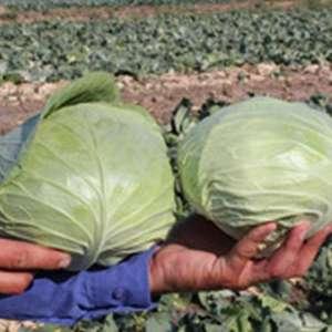 Церокс F1 - капуста белокочанная, 2 500 семян, Bejo (Бейо), Голландия фото, цена