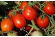 Аксель F1 - томат детерминантный, Esasem Италия фото, цена