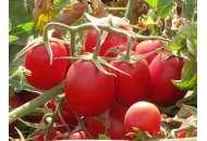 Калиендо F1 - томат детерминантный, Esasem Италия фото, цена