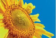 ЕС Новамис СЛ - подсолнечник, 150 000 семян, EURALIS (Евралис), Франция фото, цена
