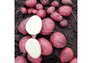 Крістіна - рання картопля 1 репродукції, 5 кг (Гермес) фото, цiна