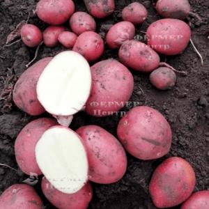 Кристина - ранний картофель 1 репродукции, 5 кг  ( Гермес) фото, цена