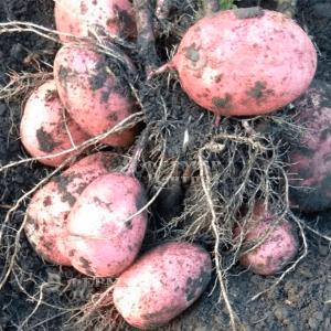 Кристина - ранний картофель 1 репродукции, 5 кг  ( Гермес) фото №3, цена