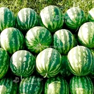 Ау Продюсер - арбуз, (Lark Seeds) фото, цена