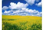 Шерпа - рапс, 1,5 млн. семян, Lembke Германия фото, цена