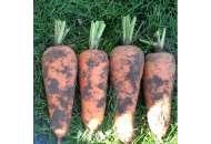 ВАС - 75 F1 - морковь, 100 000 семян, Nickerson Zwaan  фото, цена