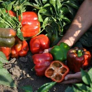 Капело F1 - перец сладкий, 500 семян, Clause Франция фото, цена