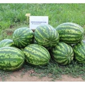 Астрахан F1 - гибрид арбуза, 1000 семян, Syngenta фото, цена
