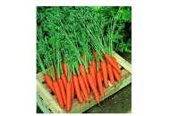 Престо F1 - морковь, Nickerson Zwaan фото, цена