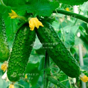 Взгляд F1 - огурец пчелоопыляемый, Nasko Украина фото, цена