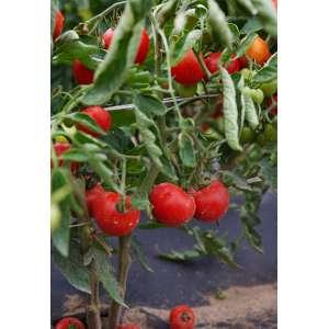 Верлиока F1 - томат индетерминантный, Nasko Украина фото, цена