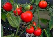 Яна - томат детерминантный, Nasko Украина фото, цена