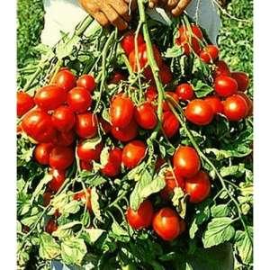 Рапит F1 - томат детерминантный, 25 000 семян, Seminis (Семинис) Голландия фото, цена