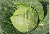 Увертюра F1 - капуста белокочанная, 1000 семян, Satimex Германия фото, цена