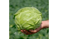 Пандион F1 - капуста белокочанная, 2500 семян, Seminis Голландия фото, цена