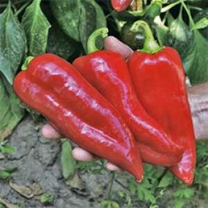 Корина F1 - семена перца сладкого, Rijk Zwaan/Рейк Цван (Голландия)  фото, цена