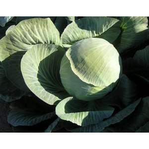 Фундакси F1 - капуста белокочанная, 2 500 семян, Seminis (Семинис) Голландия фото, цена