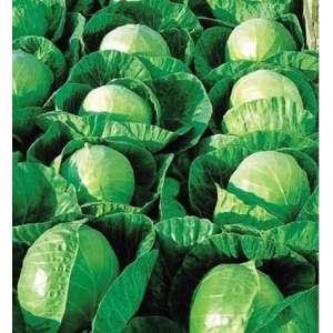 Гермес F1 - капуста белокочанная, 2500 семян, Seminis Голландия фото, цена