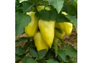 Ами - перец сладкий, 5000 семян, Semo Чехия фото, цена