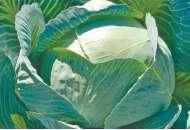 Лексикон F1 - капуста белокочанная, 2500 семян, Syngenta (Сингента), Голландия фото, цена