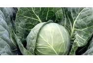 Боликор F1 - капуста белокочанная, 2500 семян, Syngenta (Сингента), Голландия фото, цена