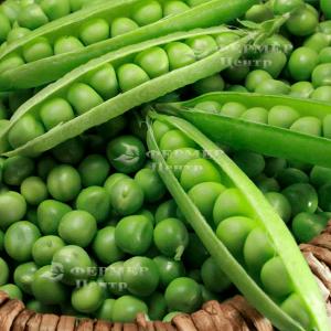 Преладо - горох овощной, Syngenta (Сингента), Голландия фото, цена