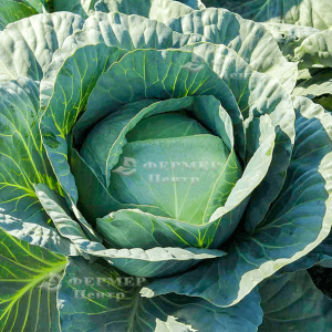 Адаптор F1 - капуста белокочанная, 2 500 семян, Syngenta (Сингента), Голландия фото, цена
