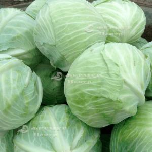 Эластор F1 - капуста белокочанная, 2 500 семян, Syngenta (Сингента), Голландия фото, цена
