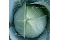 Глория F1 - капуста белокочанная, 2500 семян, Syngenta (Сингента), Голландия фото, цена