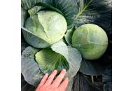 Кататор F1 - капуста белокочанная, 2 500 семян, Syngenta (Сингента), Голландия фото, цена