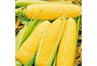 Спирит F1 - кукуруза сахарная, Syngenta (Сингента), Голландия фото, цена